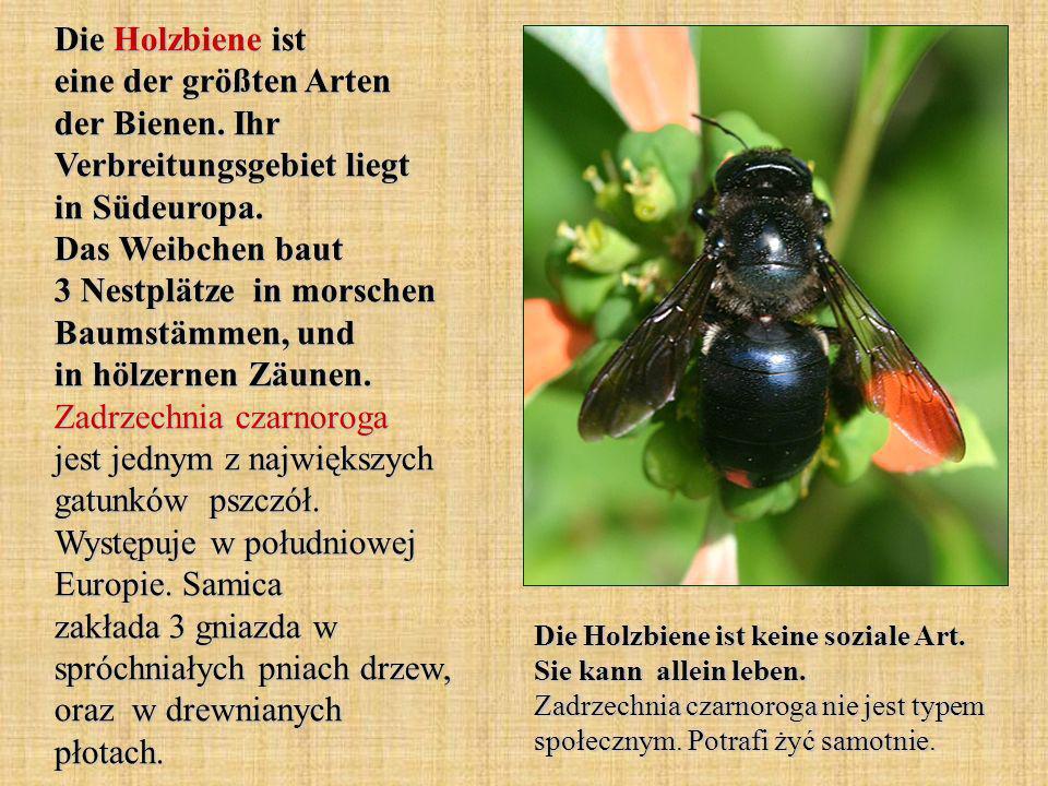 Die Holzbiene ist eine der größten Arten der Bienen. Ihr Verbreitungsgebiet liegt in Südeuropa. Das Weibchen baut 3 Nestplätze in morschen Baumstämmen