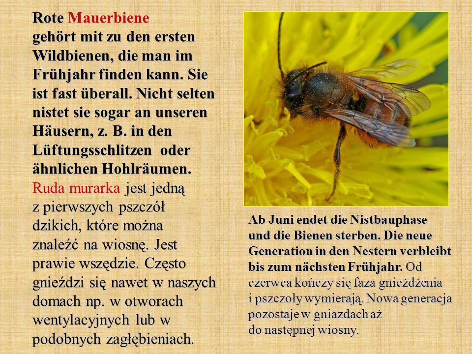 Rote Mauerbiene gehört mit zu den ersten Wildbienen, die man im Frühjahr finden kann. Sie ist fast überall. Nicht selten nistet sie sogar an unseren H