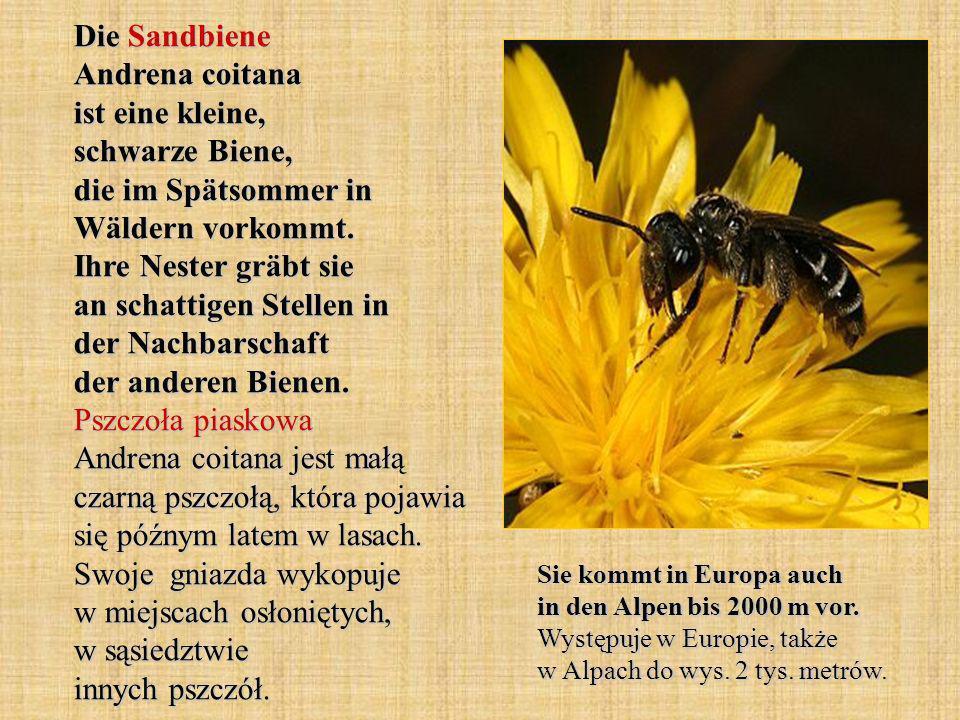Die Sandbiene Andrena coitana ist eine kleine, schwarze Biene, die im Spätsommer in Wäldern vorkommt. Ihre Nester gräbt sie an schattigen Stellen in d