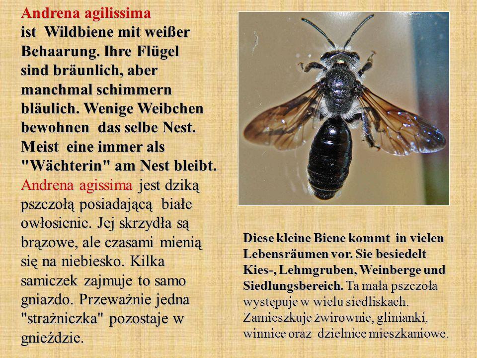 Andrena agilissima ist Wildbiene mit weißer Behaarung. Ihre Flügel sind bräunlich, aber manchmal schimmern bläulich. Wenige Weibchen bewohnen das selb