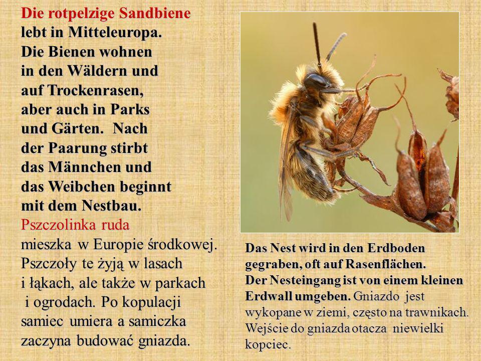 Die rotpelzige Sandbiene lebt in Mitteleuropa. Die Bienen wohnen in den Wäldern und auf Trockenrasen, aber auch in Parks und Gärten. Nach der Paarung