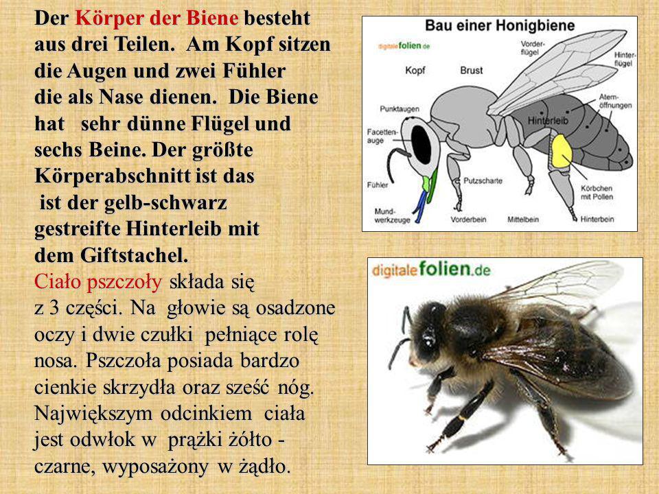 Der Körper der Biene besteht aus drei Teilen. Am Kopf sitzen die Augen und zwei Fühler die als Nase dienen. Die Biene hat sehr dünne Flügel und sechs