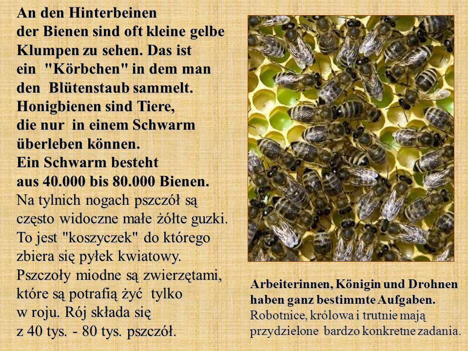 An den Hinterbeinen der Bienen sind oft kleine gelbe Klumpen zu sehen. Das ist ein