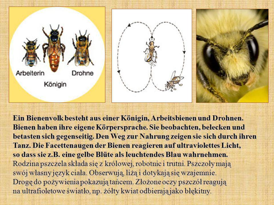 Ein Bienenvolk besteht aus einer Königin, Arbeitsbienen und Drohnen. Bienen haben ihre eigene Körpersprache. Sie beobachten, belecken und betasten sic