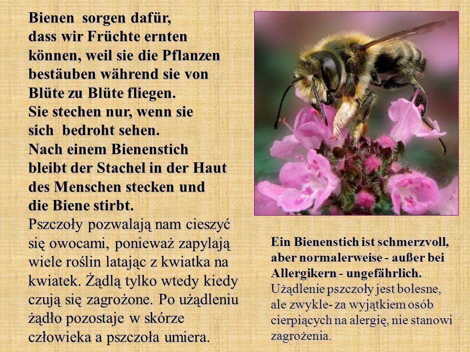 Bienen sorgen dafür, dass wir Früchte ernten können, weil sie die Pflanzen bestäuben während sie von Blüte zu Blüte fliegen. Sie stechen nur, wenn sie