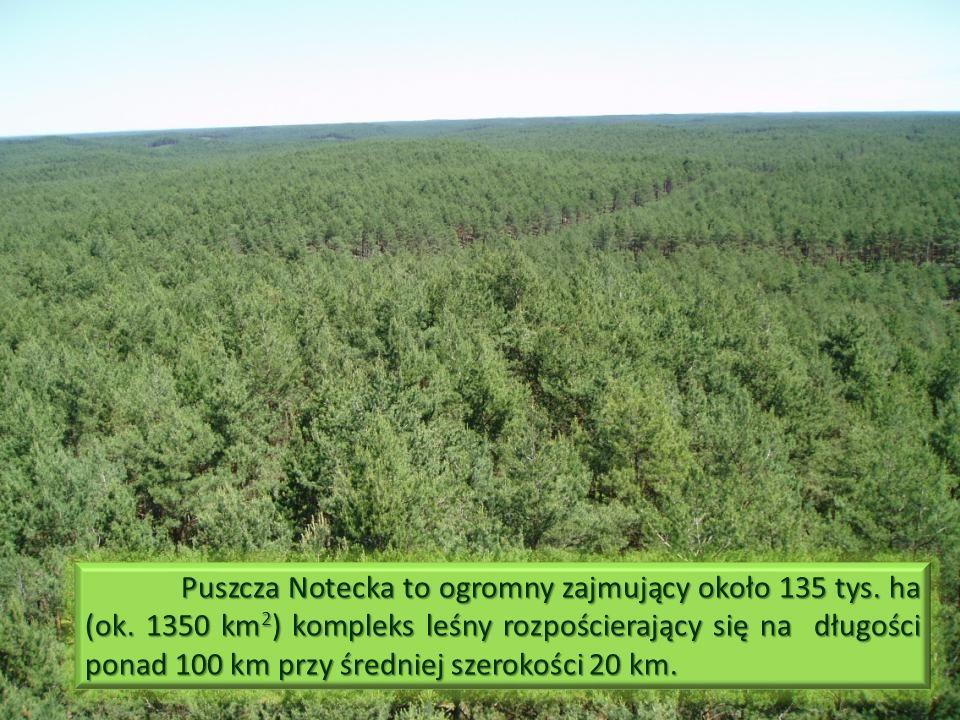 Puszcza Notecka to ogromny zajmujący około 135 tys.