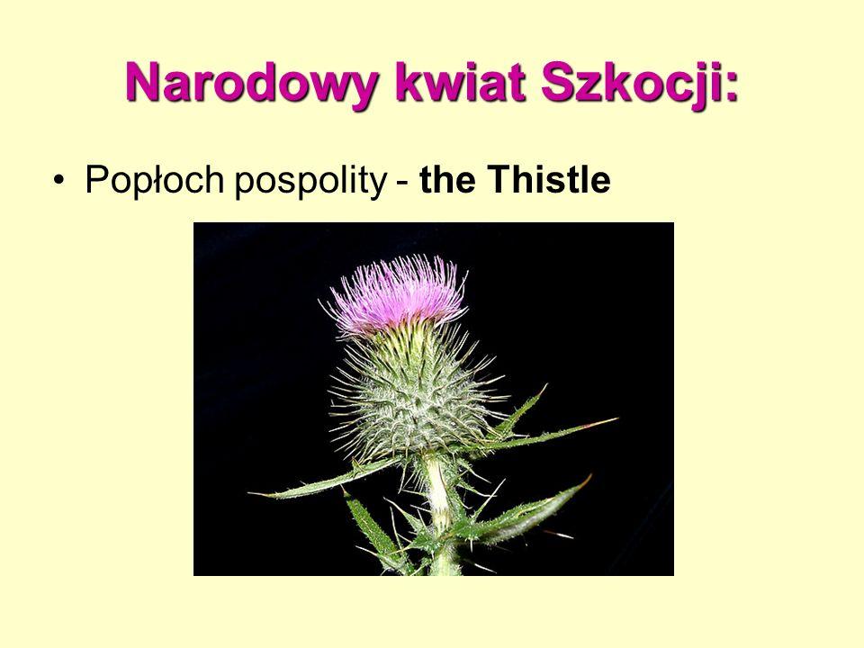 Narodowy kwiat Szkocji: Popłoch pospolity - the Thistle