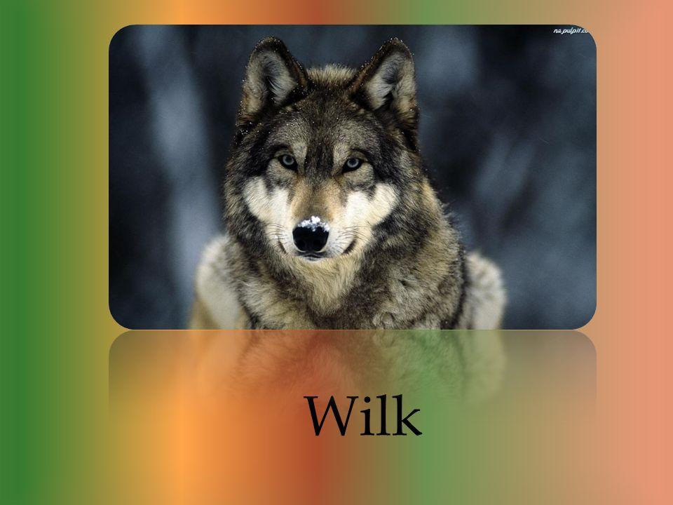 Są to zwierzęta stadne. Wilki są bardzo inteligentnymi drapieżnikami, żyją w tak zwanych sforach, czyli w stadach. Są również zhieratyzowani co świadc