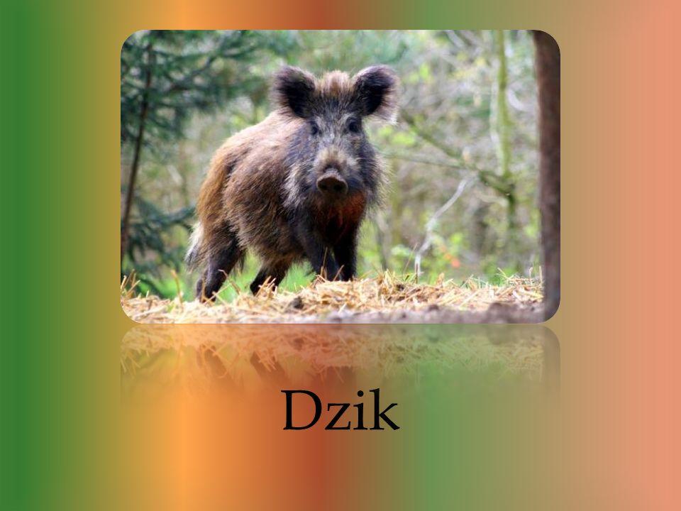 Dziki to bardzo specyficzne zwierzęta. Przez setki lat wykształciło u siebie całkiem odmienne zwyczaje niż świnia domowa, dziki są podobne do nich lec