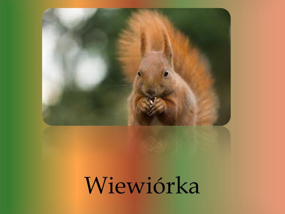 Są to bardzo żywiołowe zwierzęta. Wiewiórka jest bardzo zwinnym i szybkim gryzoniem, który mieszka na drzewach. Wiewiórki są bardzo charakterystyczne,