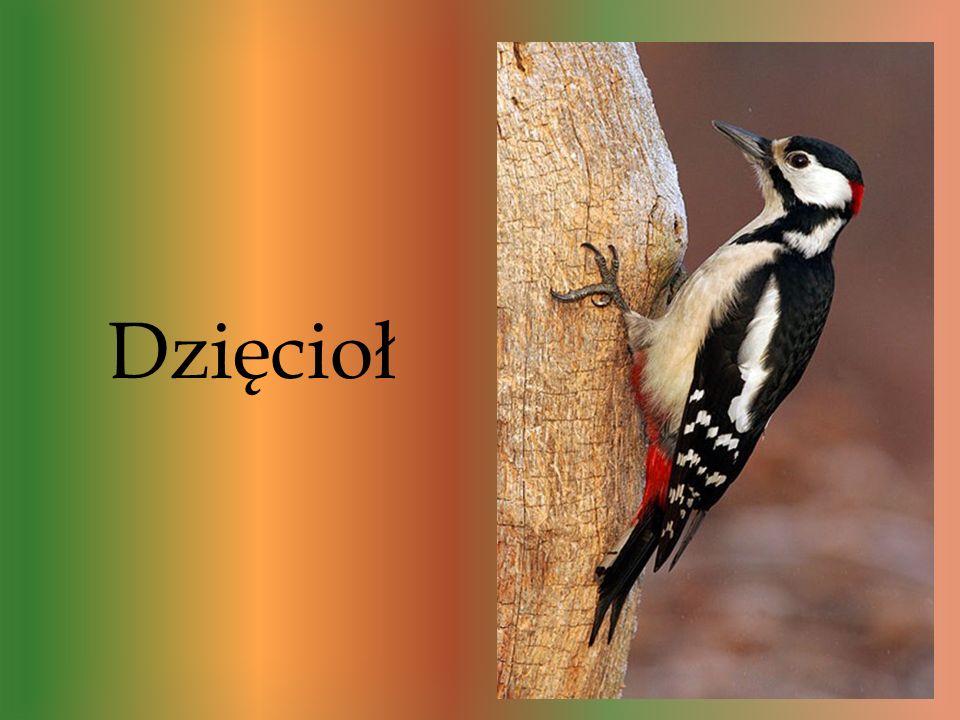 Są to bardzo rozpoznawalne ptaki w lasach. Dzięcioł jest tak charakterystycznym ptakiem z tego powodu że pożywienia szuka w korach drzew, głównie term