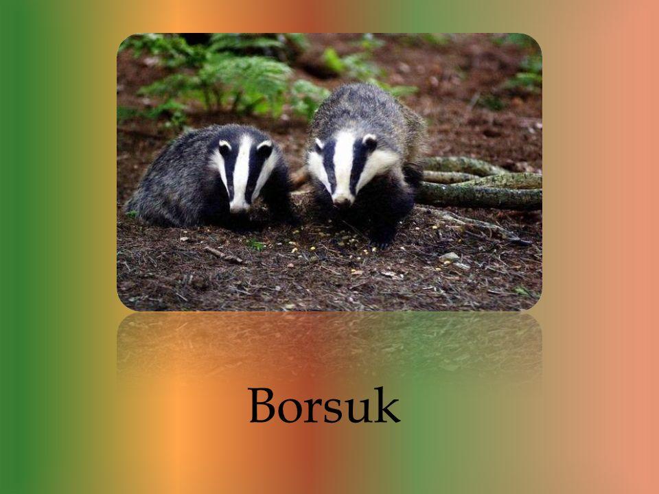 Jest to bardzo interesujące zwierzę. Borsuki to zwierzęta które prowadzą nocny tryb życia, co oznacza że w przez cały dzień śpią w norach ukrytych pod
