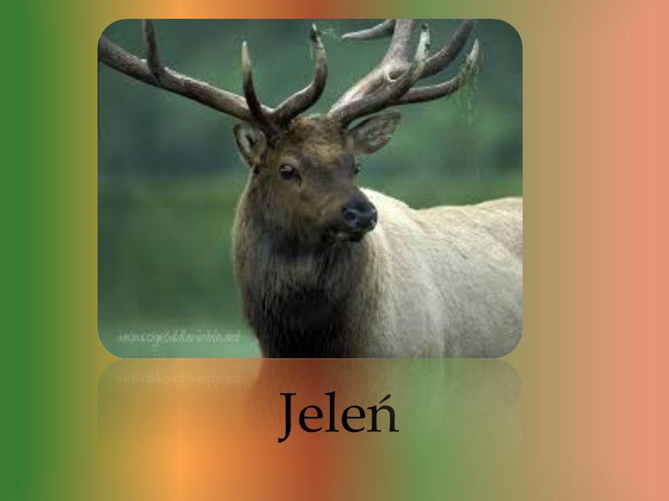 Jest to zwierzę które występuje w większości lasów liściastych oraz w borach. Jelenie to piękne zwierzęta które są bardzo charakterystyczne. Jelenia o