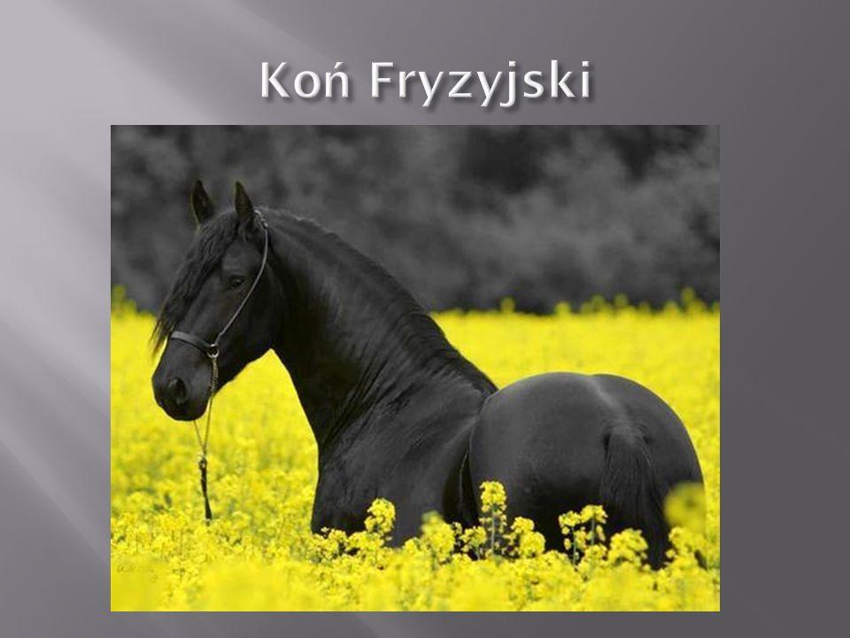 Koń pełnej krwi angielskiej – jedna z podstawowych ras koni gorącokrwistych pochodząca z Anglii.
