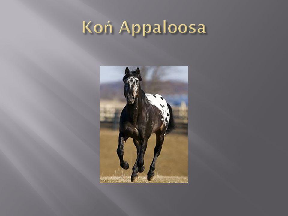 Koń Pinto jest z reguły godnym zaufania wierzchowcem.