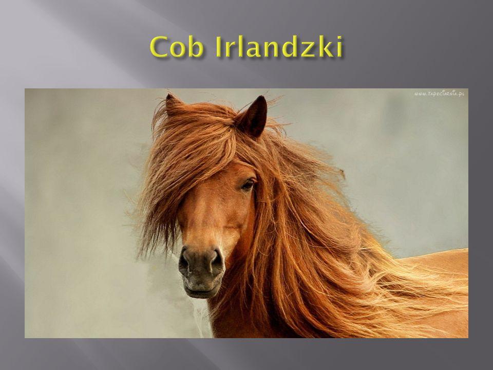 Bardzo znanym koniem luzytańskim był Novilheiro, który zdobywał nagrody w zawodach skoków przez przeszkody najwyższej klasy, pod słynnym jeźdźcem Johnem Whitakerem [2].skoków przez przeszkodyJohnem Whitakerem [2]