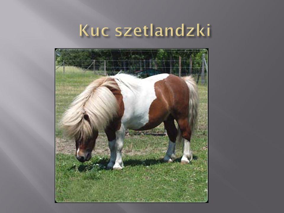 Konie tego typu cechują się krępą, mocną sylwetką z mocnym tułowiem osadzonym na solidnych, szeroko rozstawionych nogach.