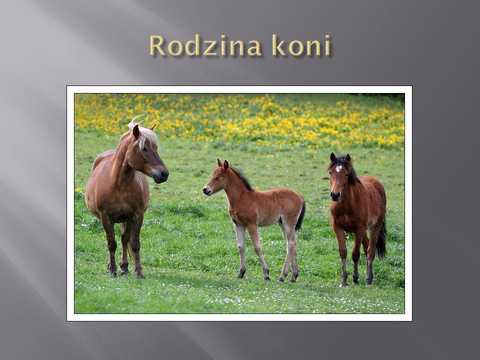 Kuc Connemara - rasa konia domowego z grupy kuców.
