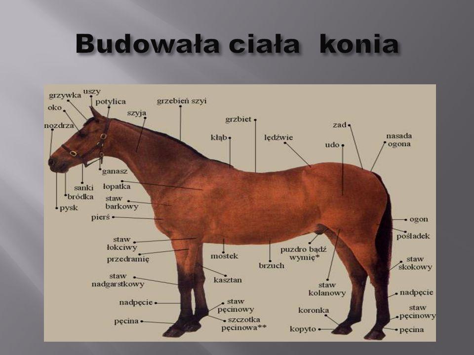 Budowa konia Koń czystej krwi Arabskiej Kłusak Francuski Koń czystej krwi Angielskiej Koń Fryzyjski Koń Pinto Koń Appaloosa Koń luzytański Cob irlandzki Kuc Szetlandzki Kuc górski Kuc Connemara Rodzina koni