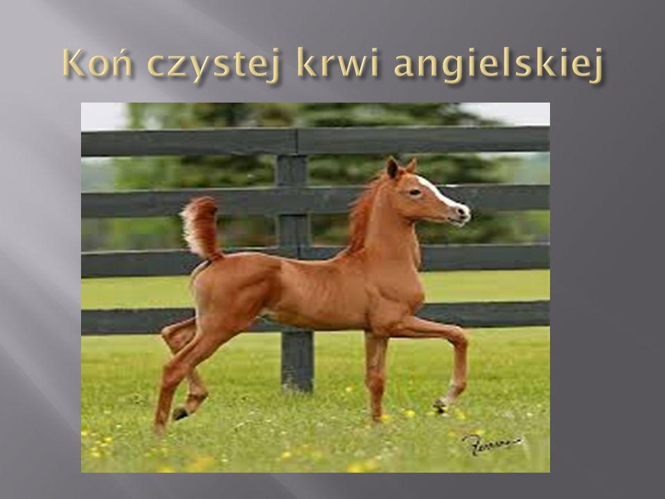 Kłusak francuski to koń doskonałej klasy, z wyglądu, temperamentu i charakteru przypominający dużego i silnego konia pełnej krwi angielskiej.
