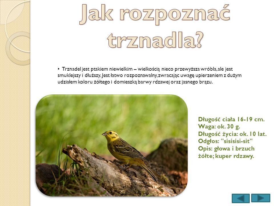 Trznadel jest ptakiem niewielkim – wielkością nieco przewyższa wróbla, ale jest smuklejszy i dłuższy. Jest łatwo rozpoznawalny, zwracając uwagę upierz
