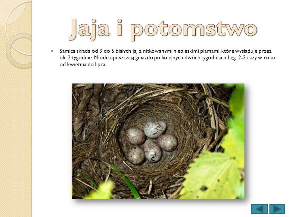 Samica składa od 3 do 5 białych jaj z nitkowanymi niebieskimi plamami, które wysiaduje przez ok. 2 tygodnie. Młode opuszczają gniazdo po kolejnych dwó
