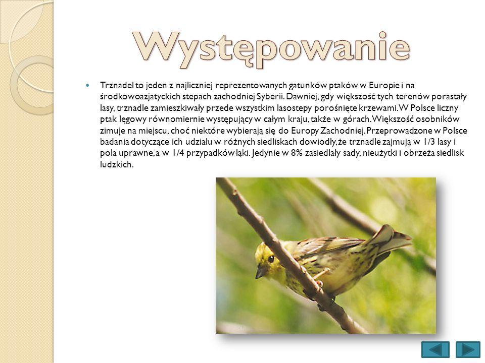 Trznadel to jeden z najliczniej reprezentowanych gatunków ptaków w Europie i na środkowoazjatyckich stepach zachodniej Syberii. Dawniej, gdy większość