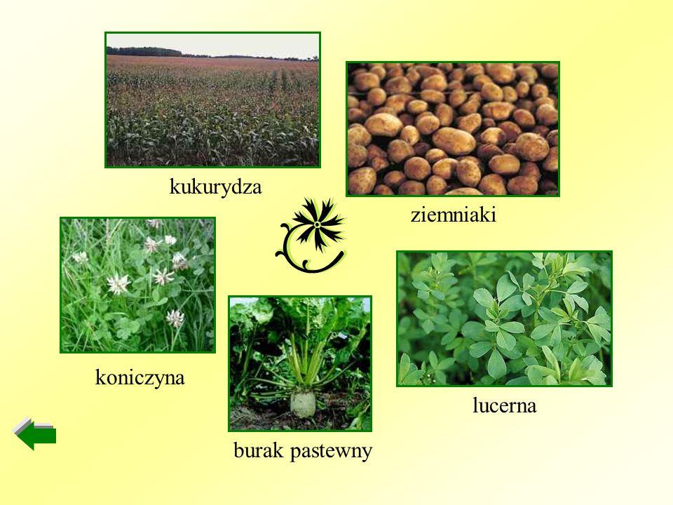 kukurydza ziemniaki lucerna burak pastewny koniczyna