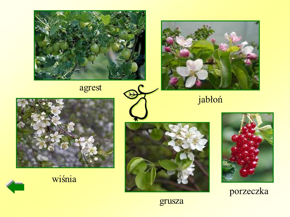 porzeczka jabłoń agrest wiśnia grusza