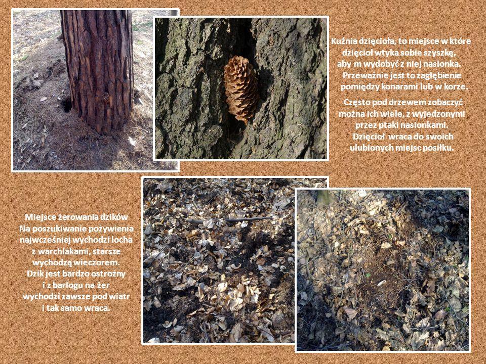 Między korzeniami drzew lis kopie rozbudowane nory, z rozgałęzionymi korytarzami, przestronną komorą oraz licznymi wejściami i wyjściami. Niekiedy pos