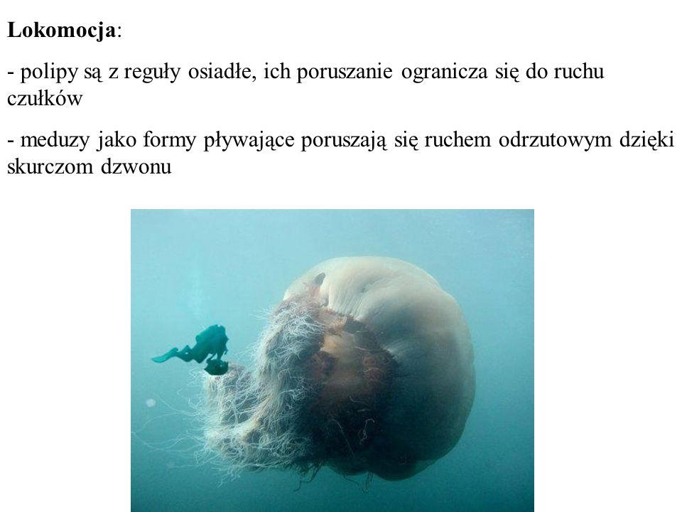 Lokomocja: - polipy są z reguły osiadłe, ich poruszanie ogranicza się do ruchu czułków - meduzy jako formy pływające poruszają się ruchem odrzutowym d