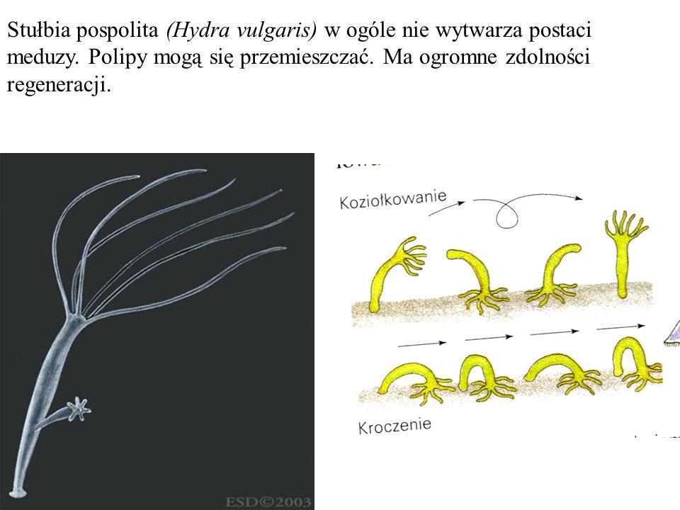 Stułbia pospolita (Hydra vulgaris) w ogóle nie wytwarza postaci meduzy. Polipy mogą się przemieszczać. Ma ogromne zdolności regeneracji.