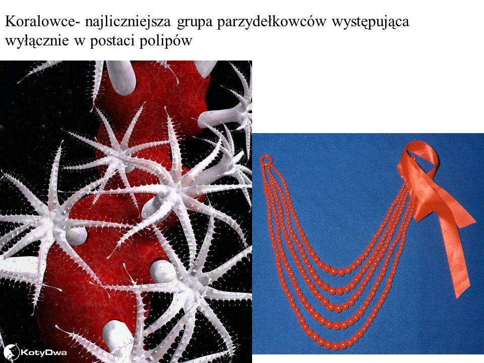 Koralowce- najliczniejsza grupa parzydełkowców występująca wyłącznie w postaci polipów