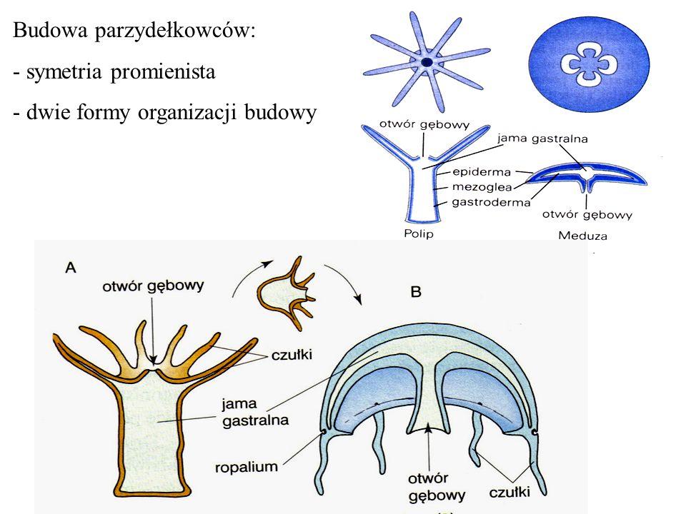 - ciało workowate zbudowane z dwóch warstw komórek :epidermy i gastrodermy odpowiadających endodermie i ektodermie gastruli, przestrzeń pomiędzy warstwami wypełnia galaretowata substancja- mezoglea - wnętrze worka stanowi jama gastralna (chłonąco trawiąca)- odpowiednik prajelita - do jamy gastralnej prowadzi otwór gębowy (funkcjonalnie będący również otworem odbytowym) u polipa w górnej części zwierzęcia, u meduzy w dolnej - otwór gębowy otoczony jest czułkami wyposażonymi w liczne komórki parzydełkowe (parzydełka)