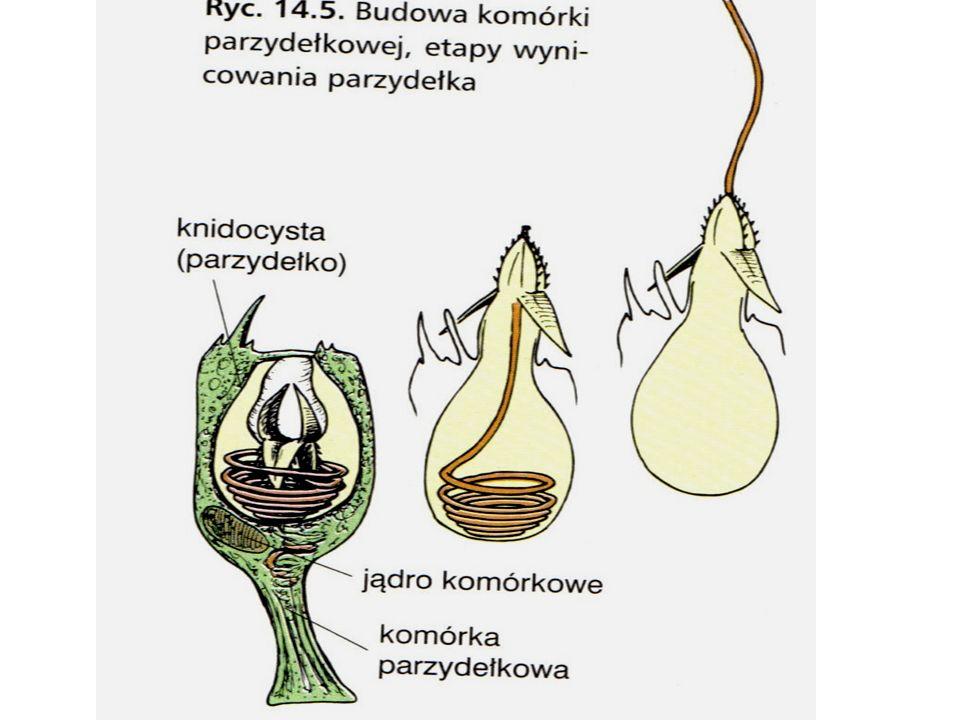 - gastroderma (endoderma) zbudowana jest z : * komórek nabłonkowo- mięśniowych (w gastrodermie często zaopatrzone w wić) * komórek gruczołowych produkujących enzymy trawienne