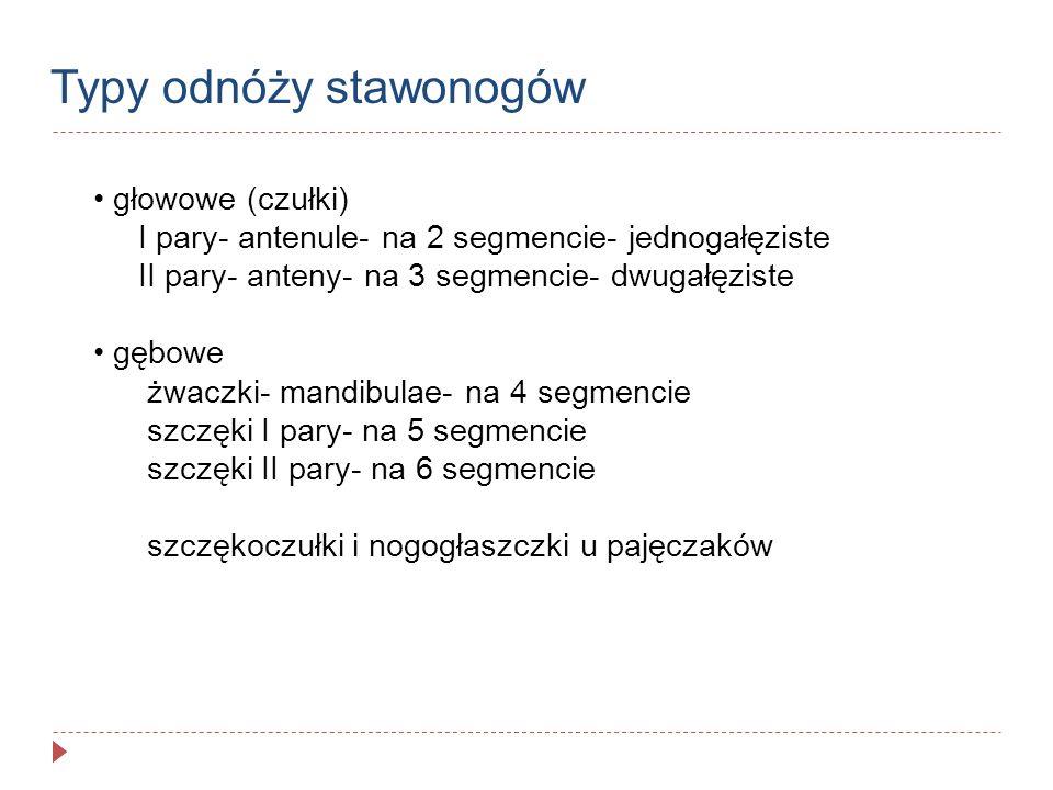 Typy odnóży stawonogów głowowe (czułki) I pary- antenule- na 2 segmencie- jednogałęziste II pary- anteny- na 3 segmencie- dwugałęziste gębowe żwaczki-