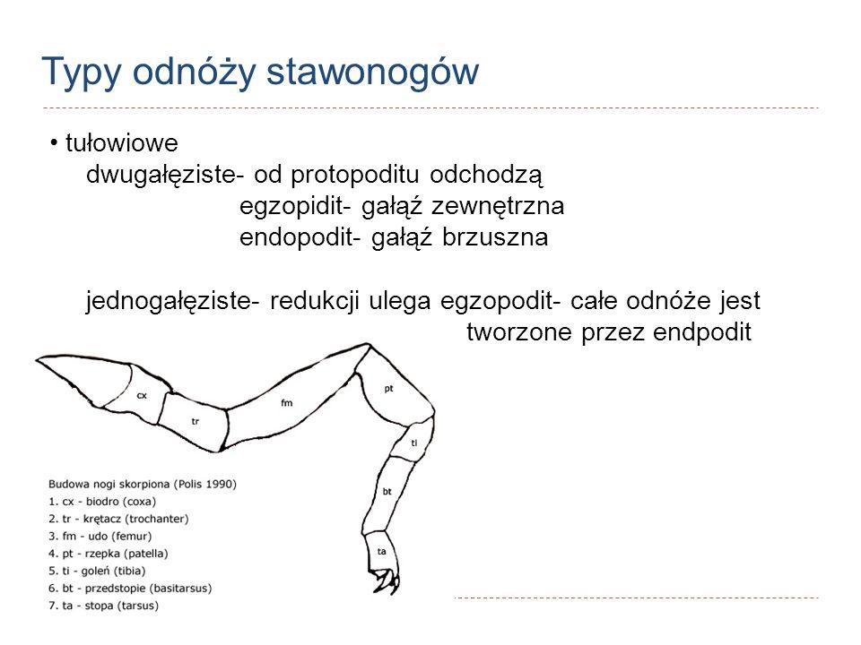 Typy odnóży stawonogów tułowiowe dwugałęziste- od protopoditu odchodzą egzopidit- gałąź zewnętrzna endopodit- gałąź brzuszna jednogałęziste- redukcji