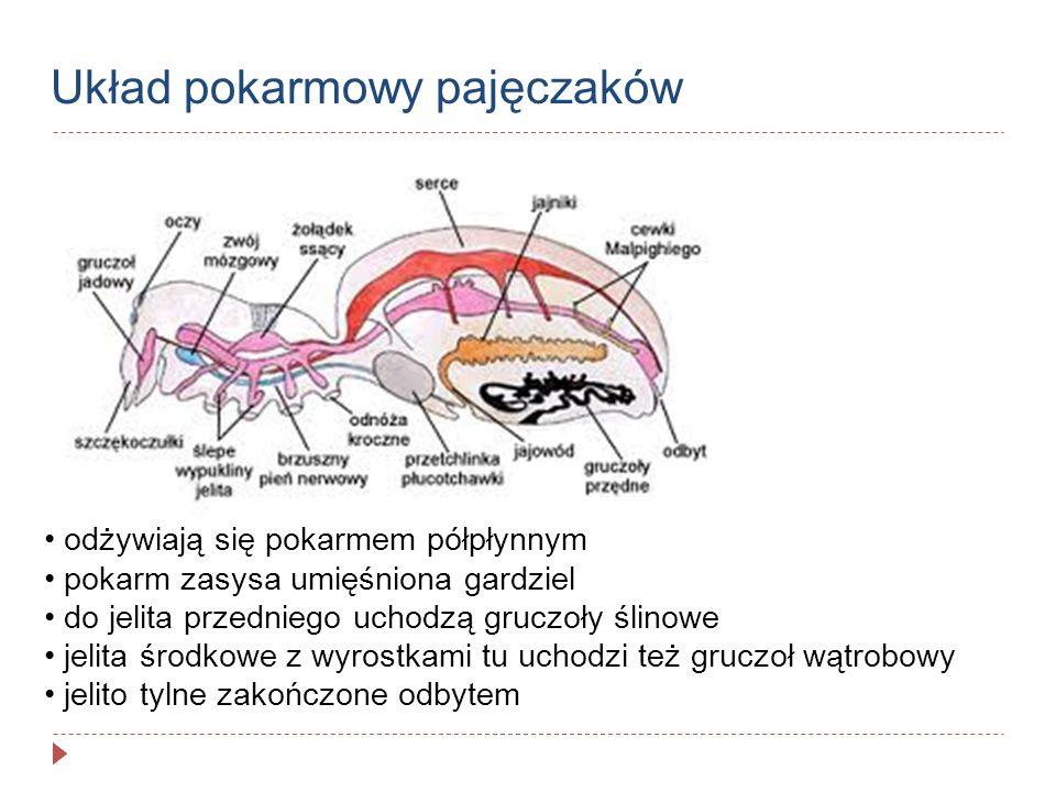 Układ pokarmowy pajęczaków odżywiają się pokarmem półpłynnym pokarm zasysa umięśniona gardziel do jelita przedniego uchodzą gruczoły ślinowe jelita śr