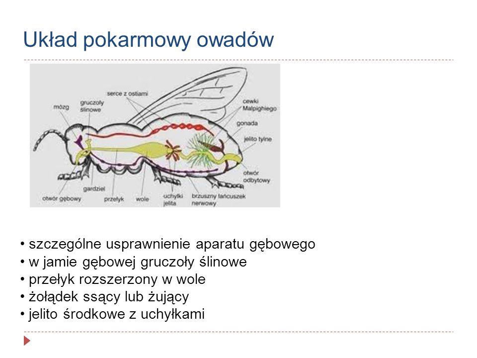 Układ pokarmowy owadów szczególne usprawnienie aparatu gębowego w jamie gębowej gruczoły ślinowe przełyk rozszerzony w wole żołądek ssący lub żujący j