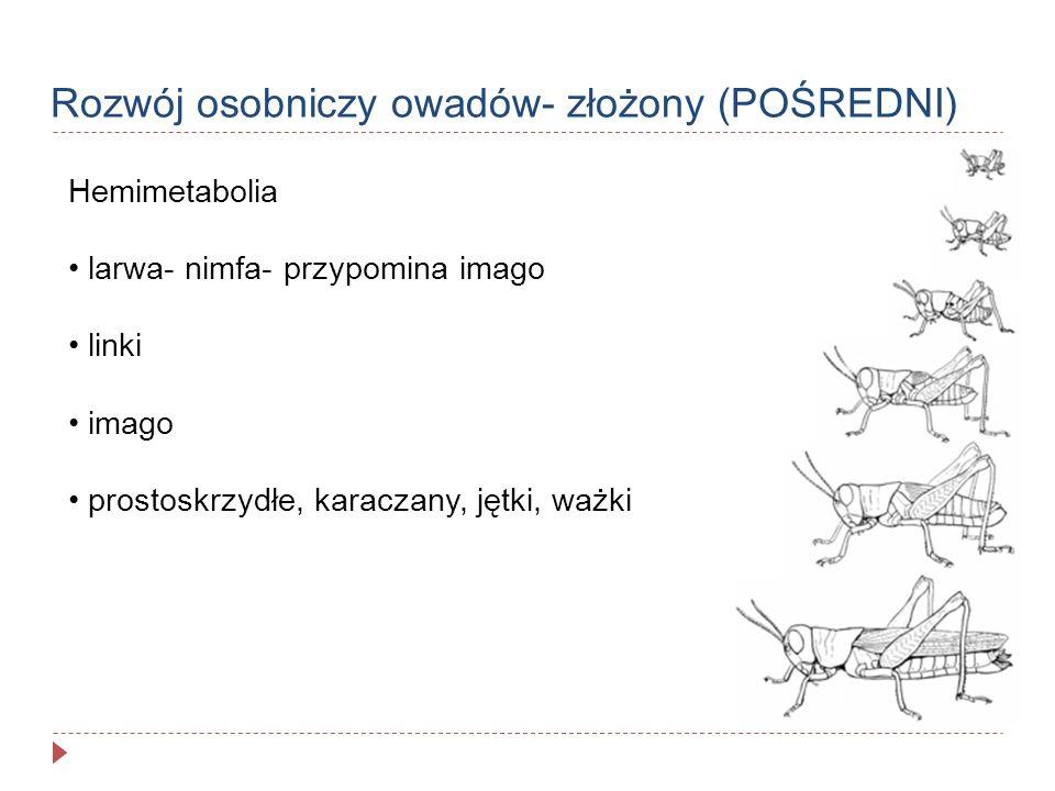 Rozwój osobniczy owadów- złożony (POŚREDNI) Hemimetabolia larwa- nimfa- przypomina imago linki imago prostoskrzydłe, karaczany, jętki, ważki