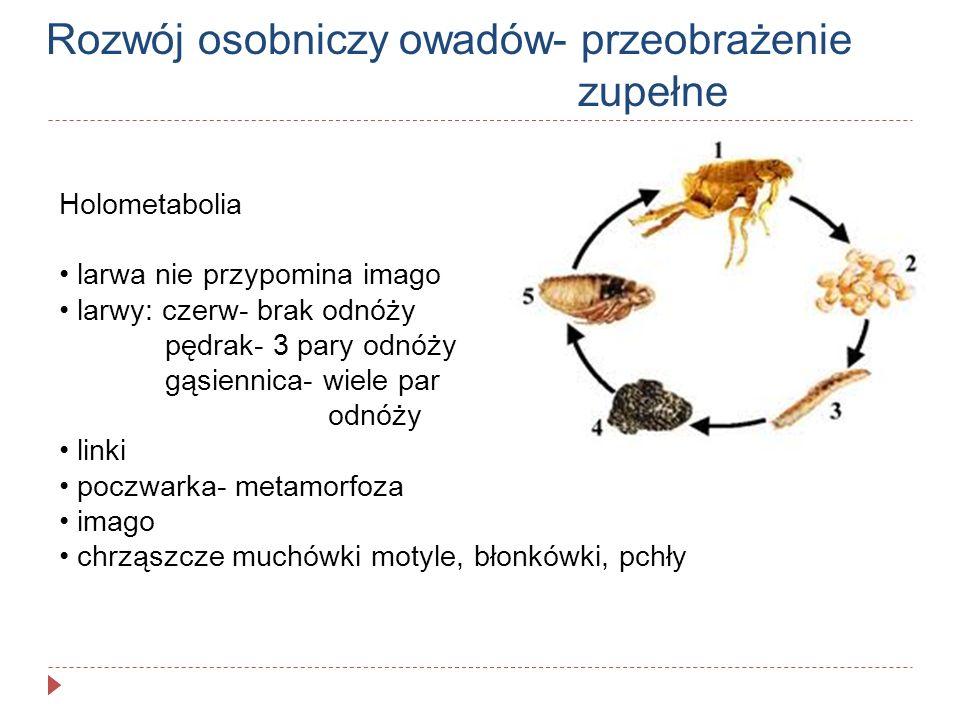 Rozwój osobniczy owadów- przeobrażenie zupełne Holometabolia larwa nie przypomina imago larwy: czerw- brak odnóży pędrak- 3 pary odnóży gąsiennica- wi
