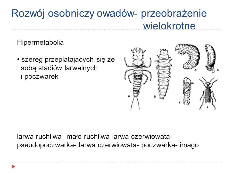 Rozwój osobniczy owadów- przeobrażenie wielokrotne Hipermetabolia szereg przeplatających się ze sobą stadiów larwalnych i poczwarek larwa ruchliwa- ma
