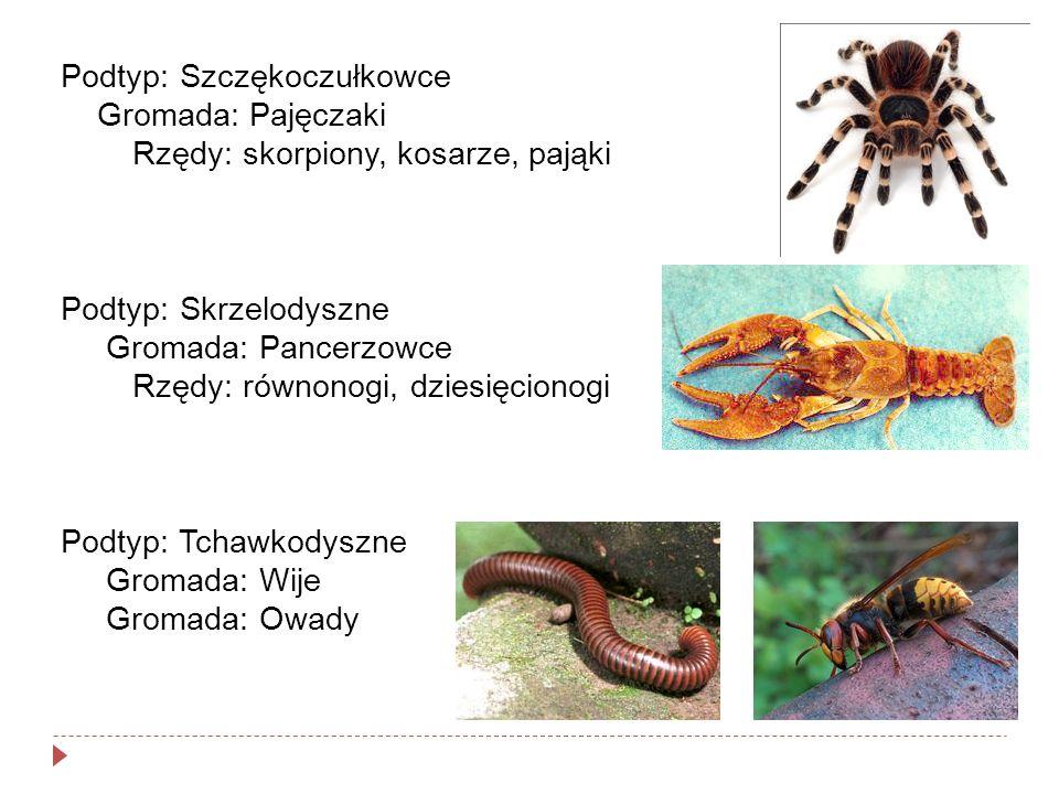 Podtyp: Szczękoczułkowce Gromada: Pajęczaki Rzędy: skorpiony, kosarze, pająki Podtyp: Skrzelodyszne Gromada: Pancerzowce Rzędy: równonogi, dziesięcion