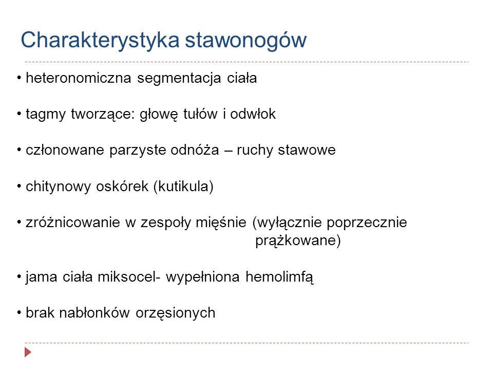 Typy odnóży stawonogów tułowiowe dwugałęziste- od protopoditu odchodzą egzopidit- gałąź zewnętrzna endopodit- gałąź brzuszna jednogałęziste- redukcji ulega egzopodit- całe odnóże jest tworzone przez endpodit