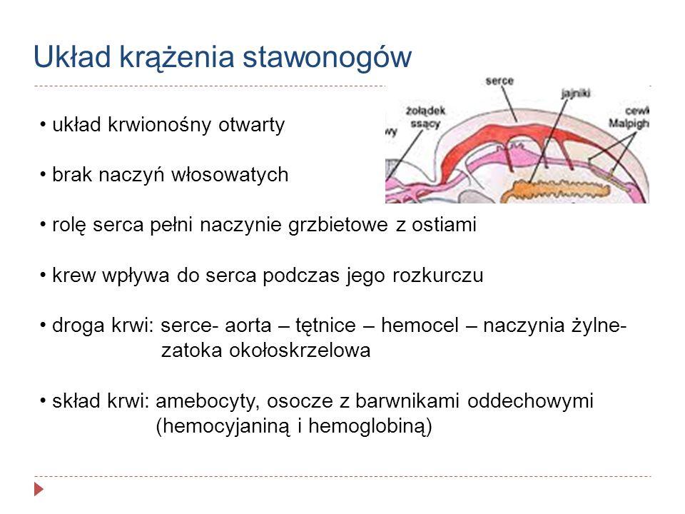 skrzela – cienkościenne wyrostki, bogato unaczynione występują głównie na odnóżach tułowiowych mogą być nakryte przez boczne części karapaksu- komory skrzelowe skrzelotchawki – u larw owadów żyjących w wodzie zmodyfikowane tchawki czyli przydatki odwłokowe z tchawkami w środku tlen drogą osmozy wnika do tchawek i rozprowadzany jest po ciele Narządy oddechowe- wodne