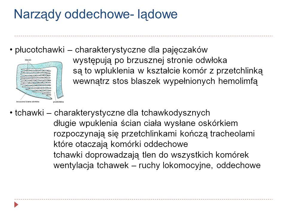 Narządy wydalnicze stawonogów zmodyfikowane metanefrydia- kanalik wydalniczy zamknięty od strony jamy ciała, przenikanie na drodze osmozy skorupiaki – gruczoły czułkowe lub szczękowe pajęczaki- gruczoły biodrowe cewki Malpighiego cewkowate uwypuklenia uchodzące do jelita: tchawkodyszne- jelita tylnego (kwas moczowy) pajęczaki- jelita środkowego (guanina)