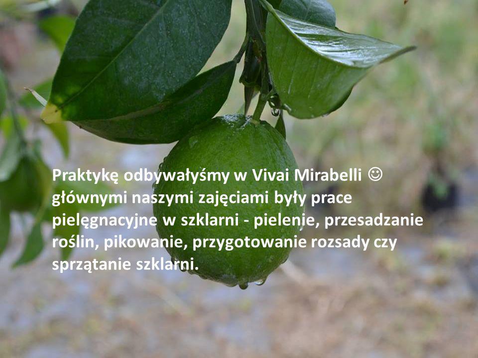 Praktykę odbywałyśmy w Vivai Mirabelli głównymi naszymi zajęciami były prace pielęgnacyjne w szklarni - pielenie, przesadzanie roślin, pikowanie, przy