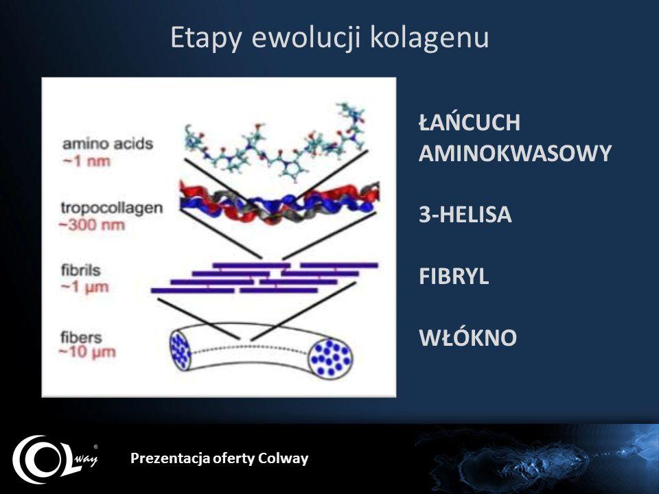 Etapy ewolucji kolagenu ŁAŃCUCH AMINOKWASOWY 3-HELISA FIBRYL WŁÓKNO