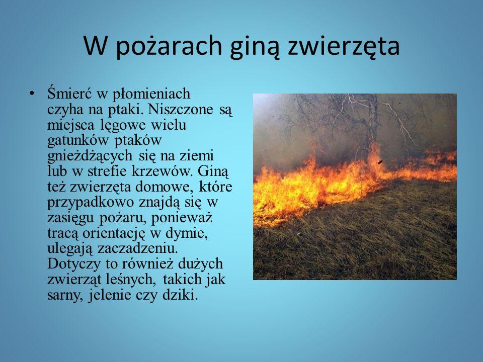 W pożarach giną zwierzęta Śmierć w płomieniach czyha na ptaki.