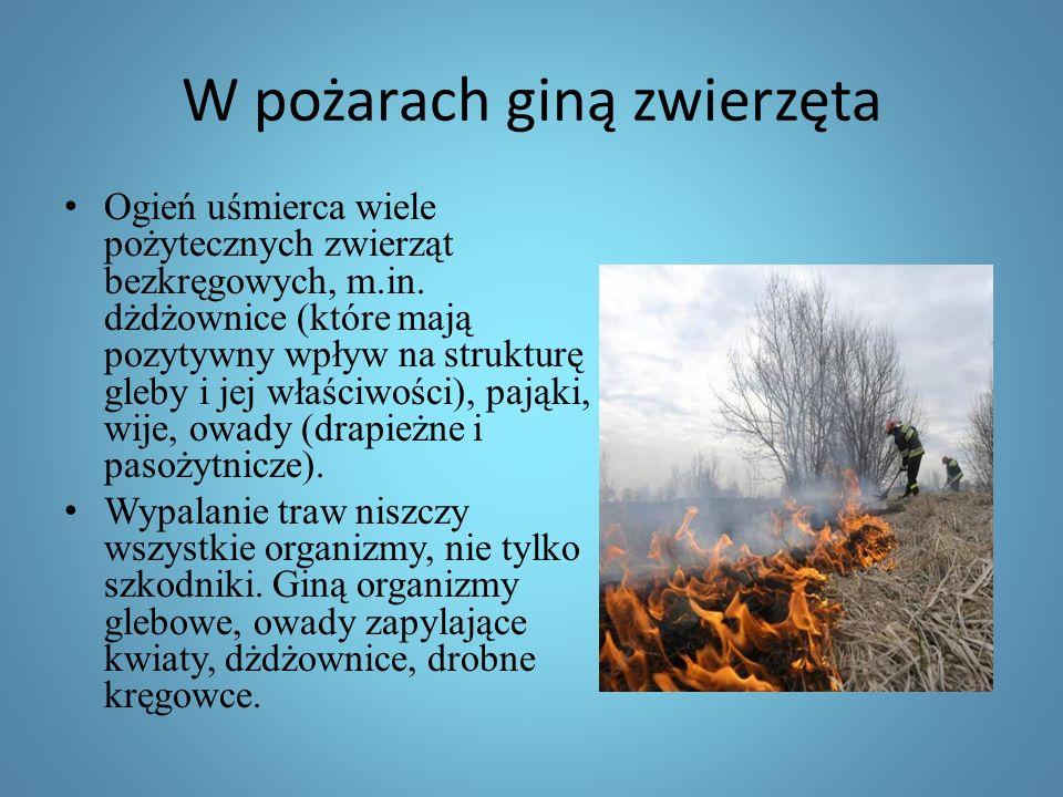 W pożarach giną zwierzęta Ogień uśmierca wiele pożytecznych zwierząt bezkręgowych, m.in.